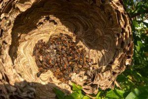 Destruir nido avispa asiatica